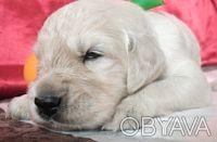 Ретривера превосходные щенки. Киев. фото 1