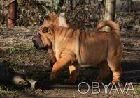 Шарпей щенки в Одессе. Одеса. фото 1