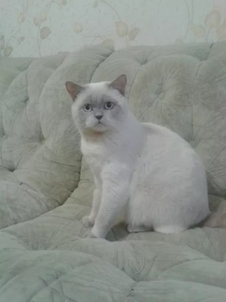 Вязка с шотландским котом (скоттиш-страйт) окраса колор пойнт. Донецк. фото 1