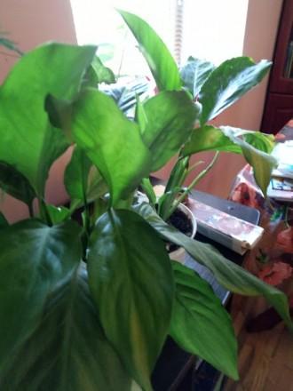 Спатіфілум – трав'яниста, безстебельна, вічнозелена рослина з дуже декоративними. Киев, Киевская область. фото 6
