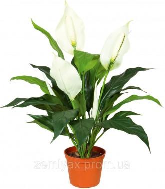 Спатіфілум – трав'яниста, безстебельна, вічнозелена рослина з дуже декоративними. Киев, Киевская область. фото 3