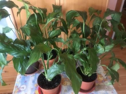 Спатіфілум – трав'яниста, безстебельна, вічнозелена рослина з дуже декоративними. Киев, Киевская область. фото 5