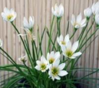 Кімнатний квітка зефирантес  любить розсіяне сонячне світло і навіть яскраве сон. Киев, Киевская область. фото 3
