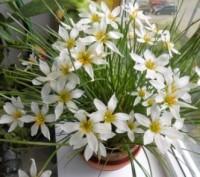 Кімнатний квітка зефирантес  любить розсіяне сонячне світло і навіть яскраве сон. Киев, Киевская область. фото 2
