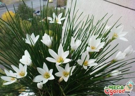 Кімнатний квітка зефирантес  любить розсіяне сонячне світло і навіть яскраве сон. Киев, Киевская область. фото 4
