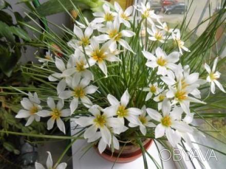 Кімнатний квітка зефирантес  любить розсіяне сонячне світло і навіть яскраве сон. Киев, Киевская область. фото 1