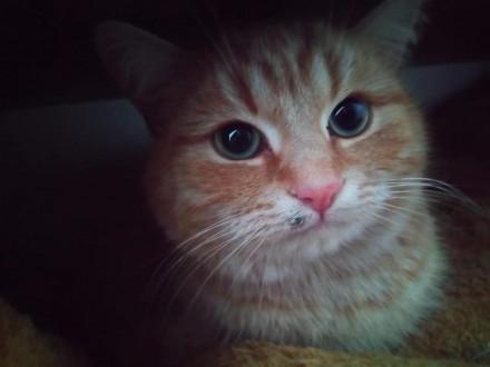 найден  рыжий кот. Сумы. фото 1