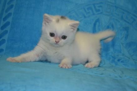 Продам котиков породы скоттиш-страйт 2мес.. Краматорск. фото 1