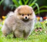 Купим щенка шпица в Днепропетровске НЕДОРОГО. Днепр. фото 1