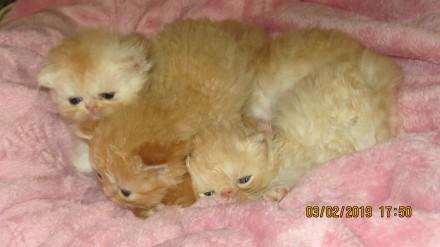 Продаются персидские котята. Мариуполь. фото 1