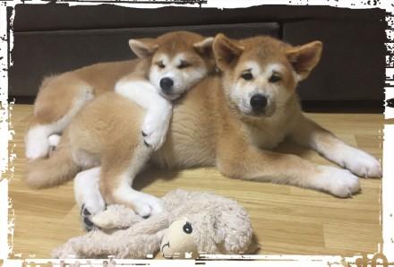 Великолепные породные щенки Акита-ину от прекрасной пары BENDIDA JUNE HENA & MAS. Борисполь, Киевская область. фото 3