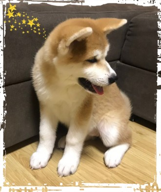 Купить щенка Акита-ину (Хатико)! Верный друг, счастье и гордость!. Борисполь. фото 1