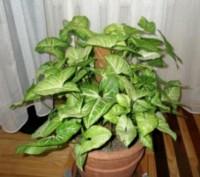 Догляд за Сингоніум нескладний, рослина не примхлива. Росте швидко, за короткий . Киев, Киевская область. фото 4