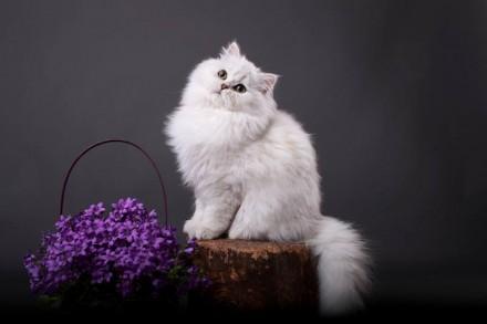 Британский кот серебристая шиншилла ns 11 временно открытый на вязку. Одесса. фото 1