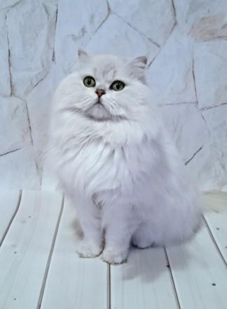 Британский кот из питомника с отличной родословной , Чемпион породы WCF, серебри. Одесса, Одесская область. фото 4