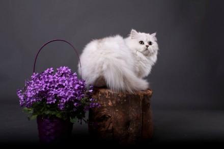 Британский кот из питомника с отличной родословной , Чемпион породы WCF, серебри. Одесса, Одесская область. фото 3