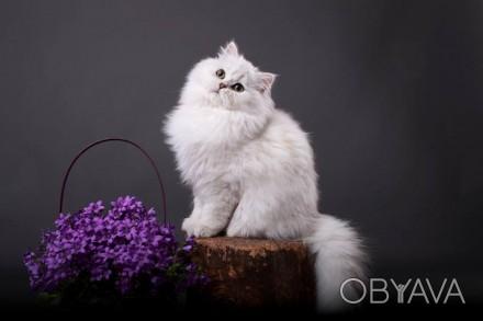 Британский кот из питомника с отличной родословной , Чемпион породы WCF, серебри. Одесса, Одесская область. фото 1