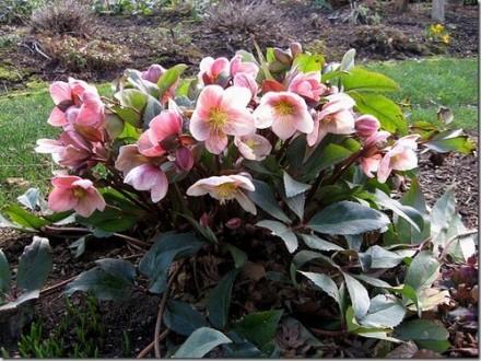 Морозник -багаторічна квітка,цвіте ранньою весною,володіє лікувальними властивос. Киев, Киевская область. фото 3