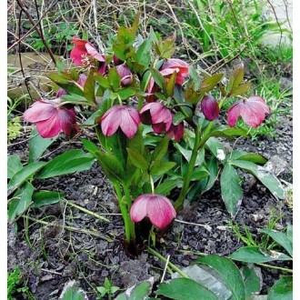 Морозник -багаторічна квітка,цвіте ранньою весною,володіє лікувальними властивос. Киев, Киевская область. фото 2