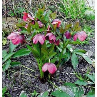 Морозник -багаторічна квітка,цвіте ранньою весною,володіє лікувальними властивос. Киев, Киевская область. фото 1