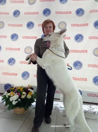 Продам щенков БШО (белая швейцарская овчарка). Киев. фото 1