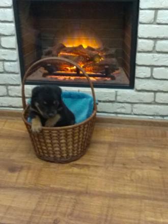Продам щенков ротвейлера, родились 08.11.18. Веселые,жизнерадостные. Ждут свои. Киев, Киевская область. фото 5