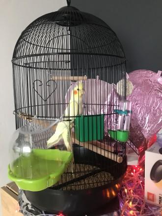 Продам попугая Коррела. Киев. фото 1