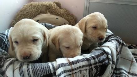 Отдаются в добрые руки Лучезарные щенки Лабрадора. Три умных мальчика и три заин. Черкассы, Черкасская область. фото 2