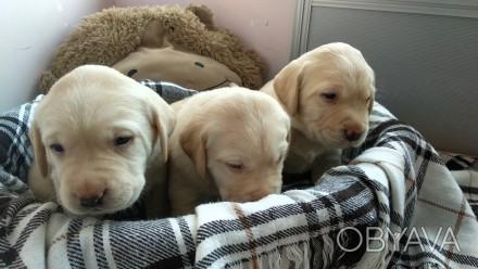 Отдаются в добрые руки Лучезарные щенки Лабрадора. Три умных мальчика и три заин. Черкассы, Черкасская область. фото 1