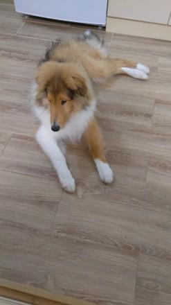 Продам щенка Колли. Киев. фото 1