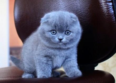 Отдам в хорошие руки шотландского вислоухого котенка 2 месяца. Киев. фото 1