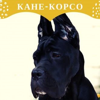 Щенок кане-корсо. Киев. фото 1
