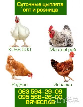 Цыплята венгерских кроссов