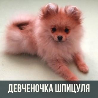 Щенок померанского шпица - девочка, милашка. Киев. фото 1