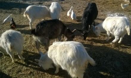 продам коз.очень вкусное молоко.Полтавская область. Великая Багачка. фото 1