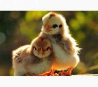 Продам добові курчата редбро, мастер грей, іспанка голошия.. Житомир. фото 1