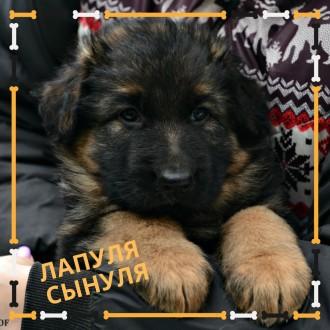 Красивый щенок породы Немецкая Овчарка. Київ. фото 1