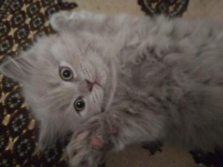 Шотландская длинношерстная кошка (Хайленд-страйт)-голубого окраса. Киев. фото 1