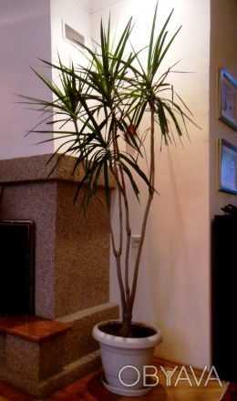 Продаётся драцена. Высота растения 1,8 м + горшок 35 см = 2,15 м. Цена 1200 грн.. Киев, Киевская область. фото 1