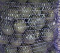 Столовий буряк на переробку. Ставище. фото 1