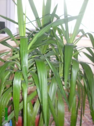 Продам юкку.  Красивая, пышная, ухоженная, вечнозелённая. Цена договорная 500 гр. Чернигов, Черниговская область. фото 3