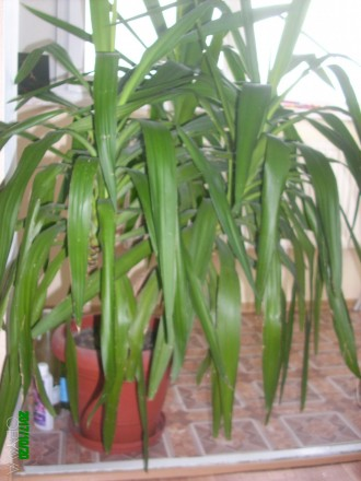 Продам юкку.  Красивая, пышная, ухоженная, вечнозелённая. Цена договорная 500 гр. Чернигов, Черниговская область. фото 2