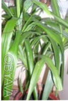 Продам юкку.  Красивая, пышная, ухоженная, вечнозелённая. Цена договорная 500 гр. Чернигов, Черниговская область. фото 4