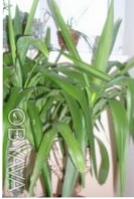 Продам юкку.  Красивая, пышная, ухоженная, вечнозелённая. Цена договорная 500 гр. Чернигов, Черниговская область. фото 6
