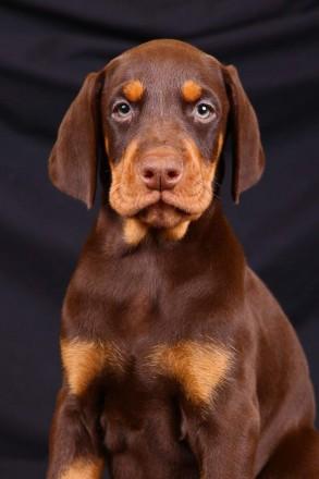 Шикарнейший щенок породы доберман. Запорожье. фото 1
