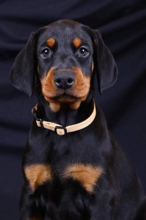 Красивейший щенок добермана. Запорожье. фото 1