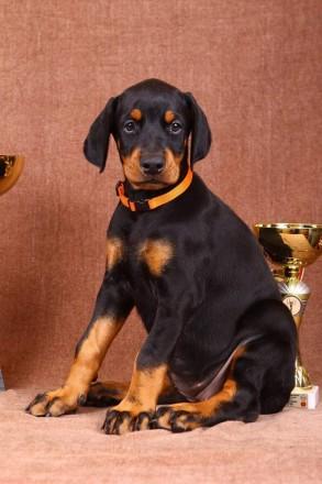 Замечательный щенок добермана. Запорожье. фото 1