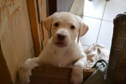 Продаем щенка лабрадора. 1 мальчик очень игривый, хорошего телосложения, почти 3. Запорожье, Запорожская область. фото 3