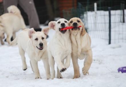 Палевые щенки лабрадор ретривера. Борисполь. фото 1