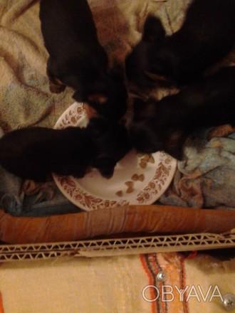 Продаются супер  мини йорки .Родились 23.01.19.Осталось два мальчишки.Беби фейс.. Мелитополь, Запорожская область. фото 1